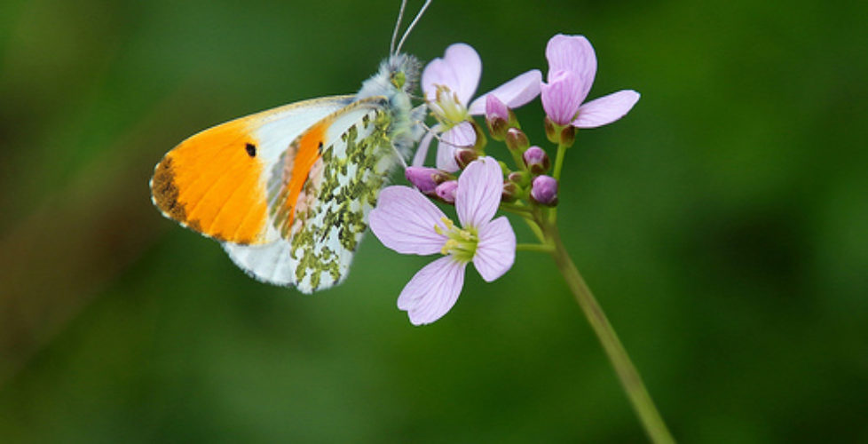 Orange tip butterfly - Anthocharis cardamines (m)