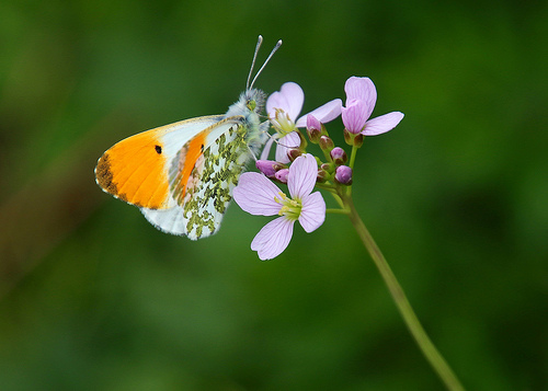 Orange tip butterfly - Anthocharis cardamines (m)